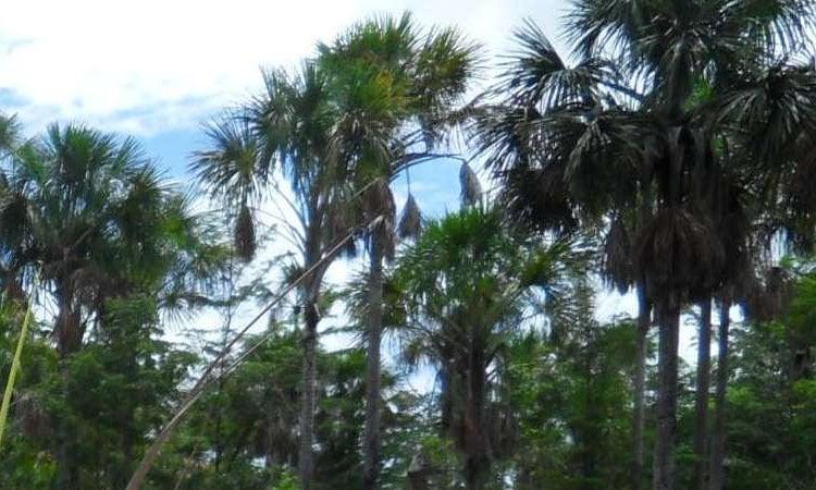 Aripo savannah moriche palm