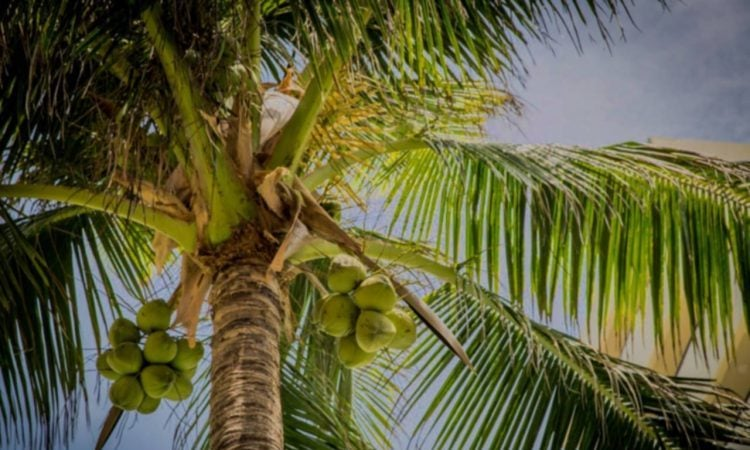 Trinidad and Tobago Coconut Tree