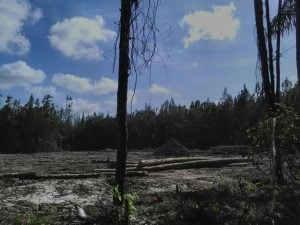Felled trees at Cumuto site